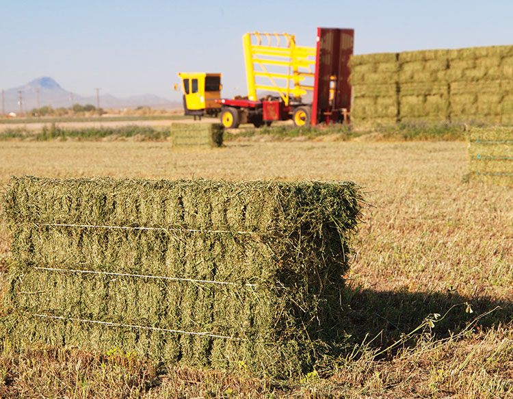 Bales Hay S In Buckeye Ariz Is Home To A Constant Flow Of Phoenix Area Customers Looking 95 Pound Three Tie Fill Their Livestock
